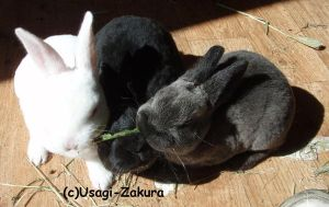 Three bunnies sharing a leaf by Usagi-Zakura