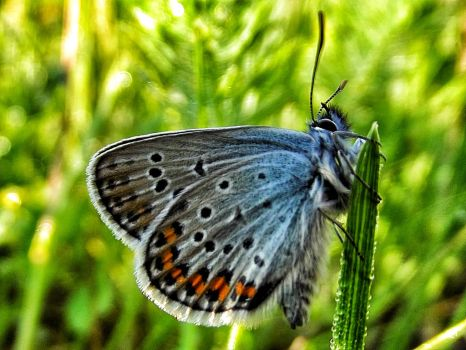 Blue buterfly by giantrider8