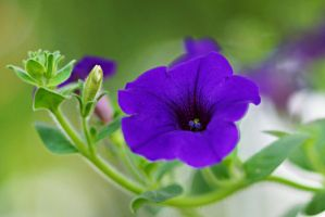 Morning glory flower 4 by a6-k