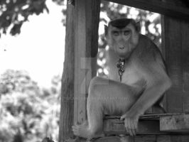 Pig-tailed Macaque by iskandar63