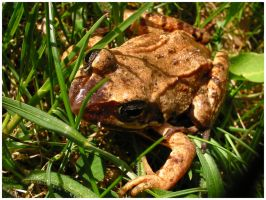 Brown Frog by Fox82