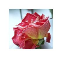 San Paolo Rose by BloodAddict