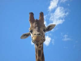 Giraffe looking at me by rbompro1