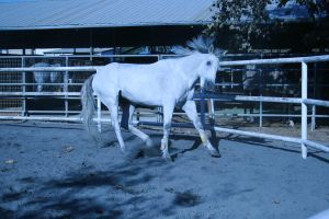 gray horse stock 15 by xbr0kendevotion