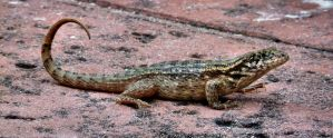 Curly-tailed Lizard by crudinski