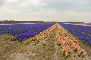 Flowering hyacinth fields 4 by steppelandstock