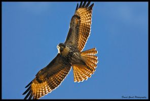 Red Tail by AirshowDave