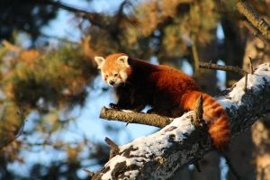 Winterred panda Yin by DarkTara