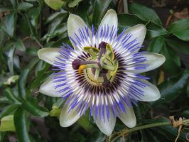 Love that Passion Flower by KatieCarlinHudson