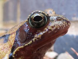 European Common Frog by Oddity-1991