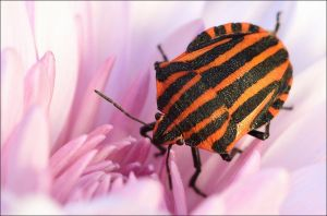 Graphosoma italicum. by Evey-Eyes