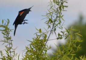 Red-Winged Black Bird 7 by Noble-Kenshi