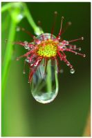 Sun Dew by TomMontgomery