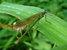 Banded demoiselle also called Calopteryx splendens by EldarZakirov