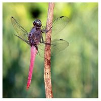 Dragonfly 12 by kiew1