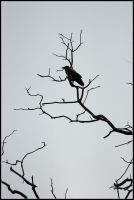 Hooded Crow by realny