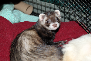 Ferret Stock 4 by Jaded-Night-Stock