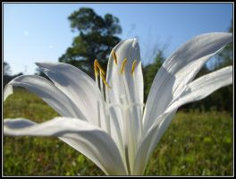 Wild Lily by Laurie4000