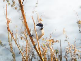 Marsh Tit - 2 by resh11ka
