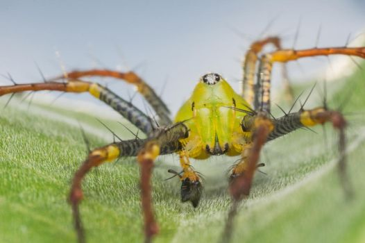 Lynx spider true colors :D by Kisarisary