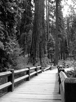 BW Bridge to Sequoia by livdrummer