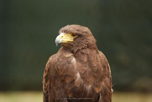 Harris's Hawk by jpgmn