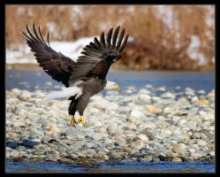 Skagit River Eagle by badchess