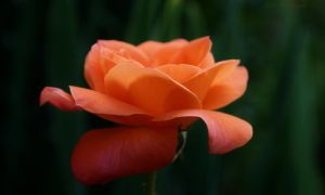 Orange Rose by salman-khan