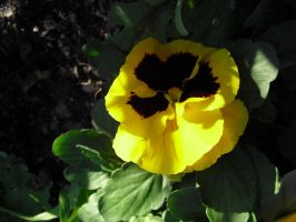 Yellow Pansies by angelskissme