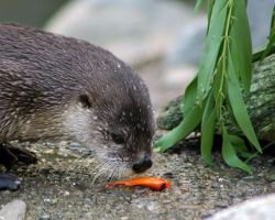 Otter lunch by bhorman