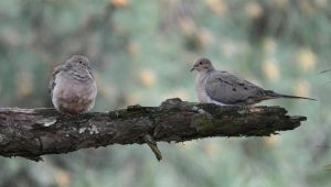 Doves X2 3-31-11 by Tailgun2009