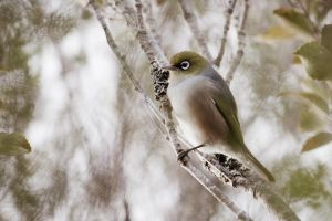 Silvereye by llemonthyme