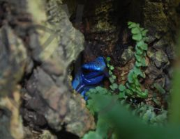 Blue Poison Arrow Frog 1 by AprilDHallPhoto