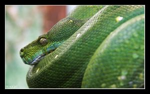 Green Tree Snake by fraughtuk