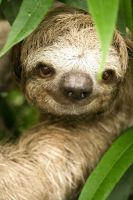 Three-Toed Sloth by LeftyRodriguez