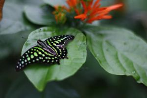 Tailed Jay by MutantLilies