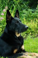 German Shepherd III by kalicobay