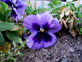 Pansy by harperking