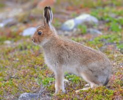Mountain Hare 06 by nordfold