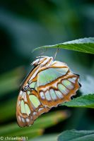 Butterfly - These legs will keep me here! by chrisellis211