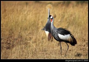 CROWNED CRANES... by dogansoysal