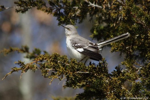 Morning Mocking Bird by natureguy