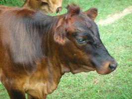 Heifer face sideview stock by pookyhorse