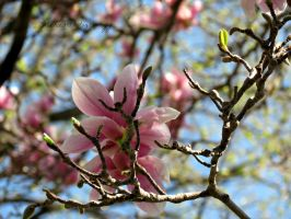 Magnolia 11 by Michies-Photographyy