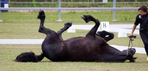 STOCK - Friesian Show 2012-146 by fillyrox