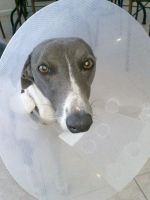 Whippet in the cone of shame by katmary