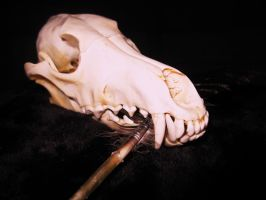 Coyote Skull by lamelobo