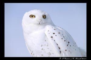 Snowy Owl by DarkWolf1989