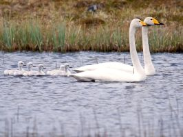 Whooper Swans with Babies by nordfold