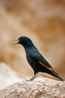 Tristram's Starling (Onychognathus tristramii) by rat-or-rat